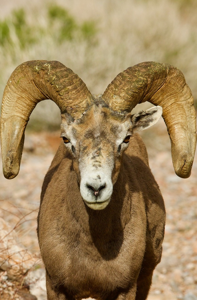 Desert big horn sheep.