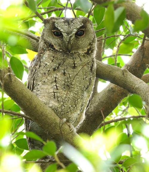 Indian scops owl - Otus bakkamoena