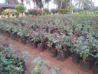 Rose flower cultivation,  floriculture-Rose