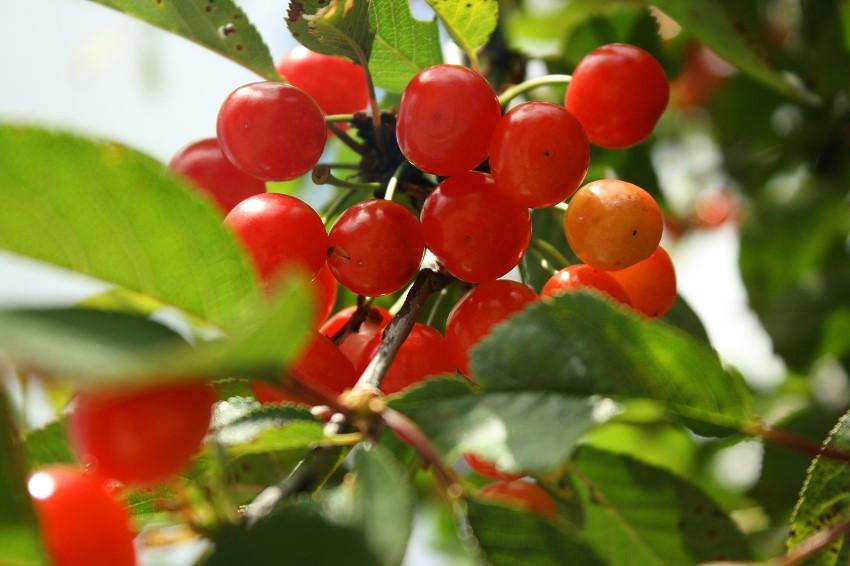 Branches de cerises anglaises