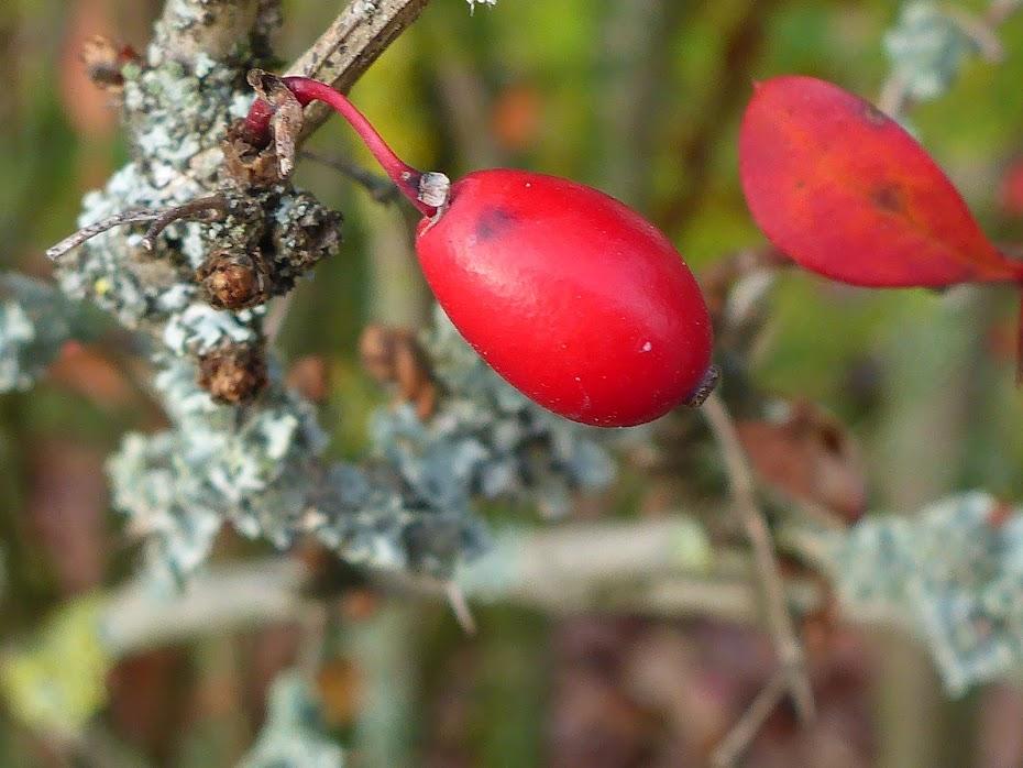Красная ягодка, ягода, лишай