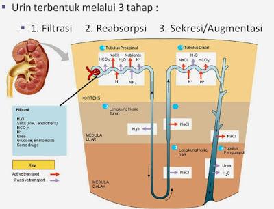3 Tahapan Proses Pembentukan Urine Pada Tubuh Manusia (Filtrasi, Reabsorpsi, Augmentasi)