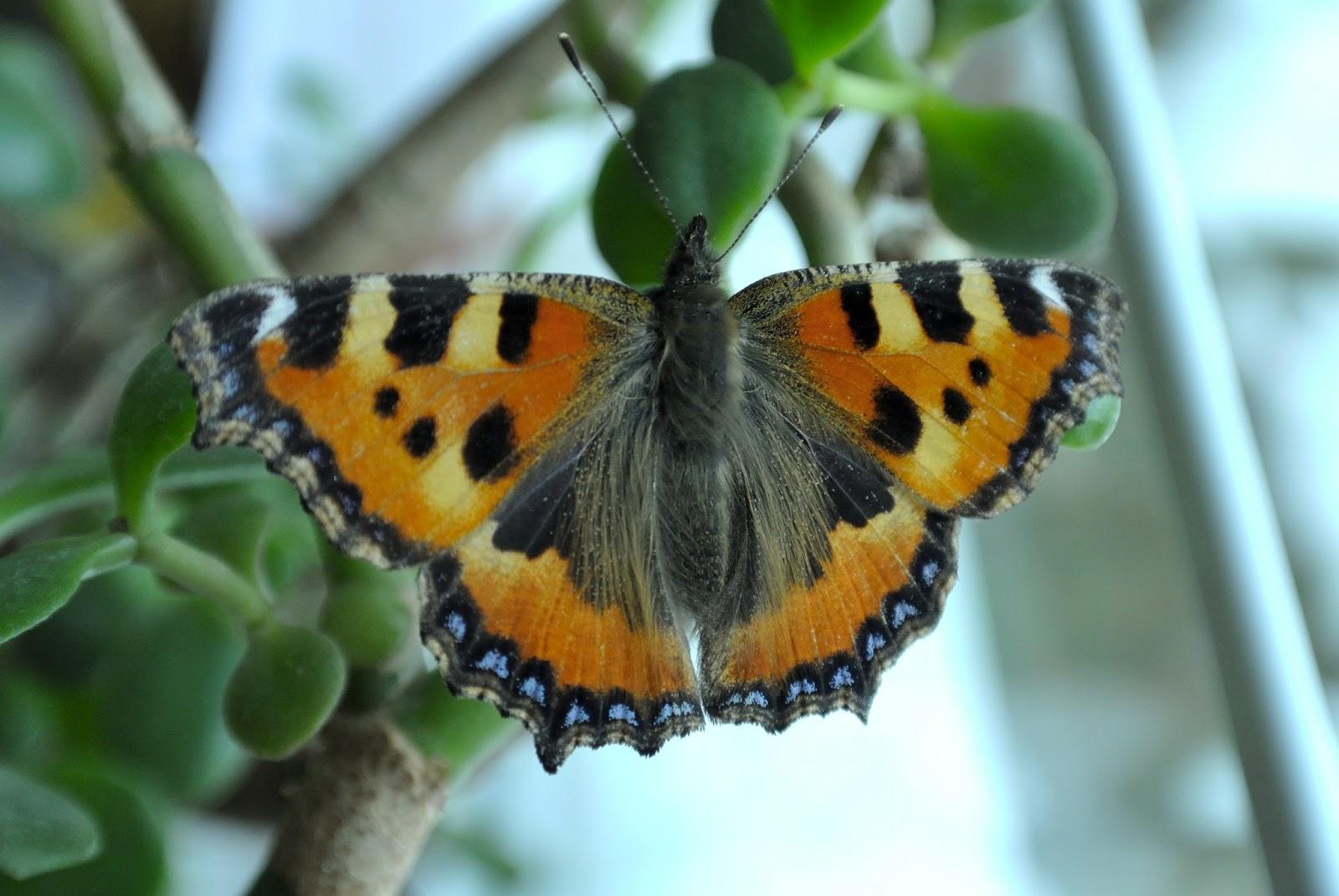 blickwinkel178 butterfly. Black Bedroom Furniture Sets. Home Design Ideas