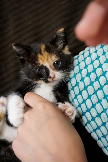 Calico kitten named Pumpkin