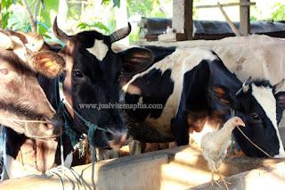 kesaksian produk nasa untuk sapi perah