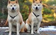 Ketahui 12 spesis anjing ini dilarang bela di Malaysia
