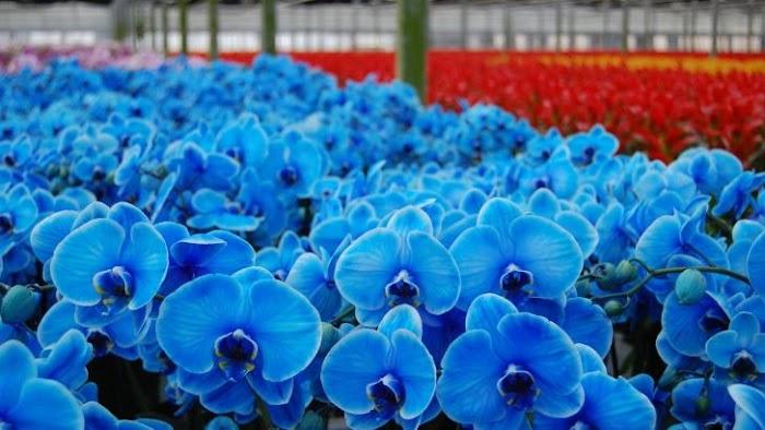 Mavi Orkide Gerçek mi?