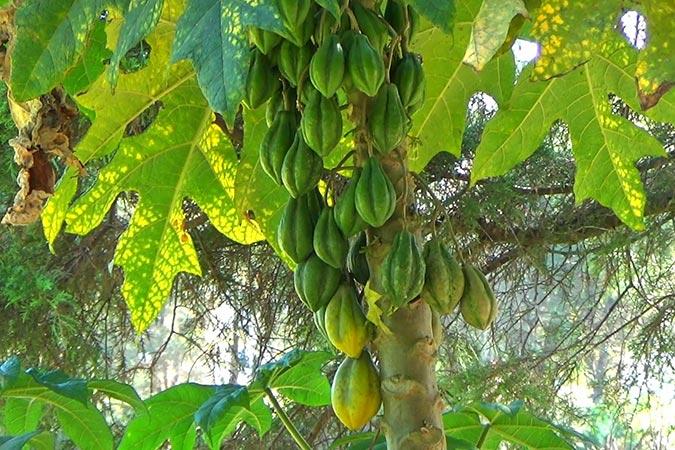 Dlium Mountain papaya (Vasconcellea pubescens)