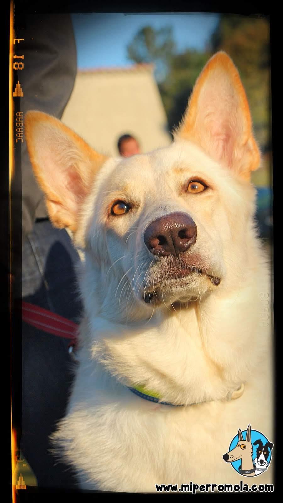 Primer plano de un Can de Palleiro con sus ojos amarillos y sus orejas puntiagudas