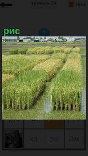 на поле в воде выращивание риса рядами и грядками