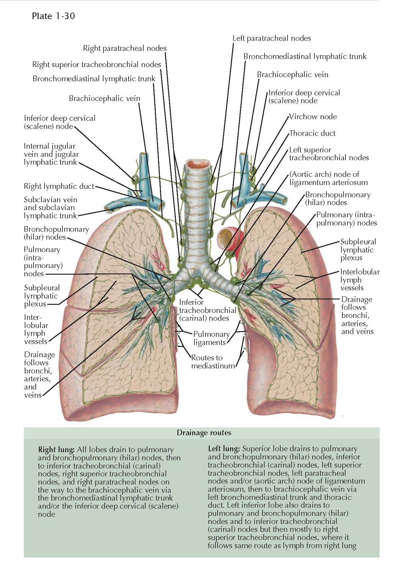 LYMPHATIC DRAINAGE OF THE LUNGS AND PLEURA