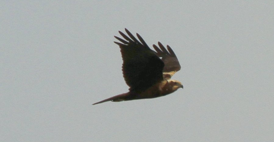 Leeshaw Cream Crown Marsh Harrier