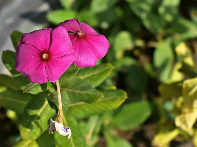 सदाबहार के फूल के फायदे(sadabahar ke phool ke fayde)