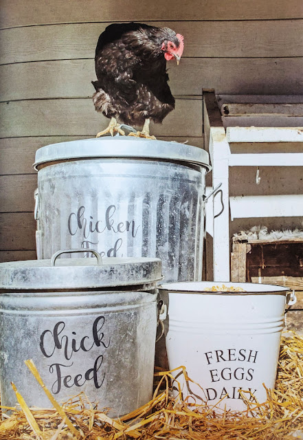 chicken-standing-on-feed-pail