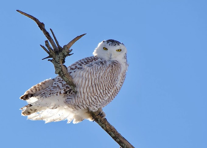 Voice: Snowy Owl Bird
