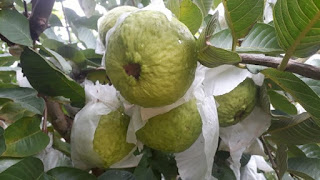 demand-increase-new-guava
