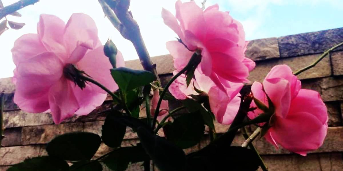 literatura paraibana cronica nostalgia campo flores flamboyant melao sao caetano