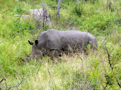 Rhino, rhinoceros, Kruger National Park, South Africa