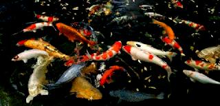 Pakan alami dan buatan untuk ikan koi