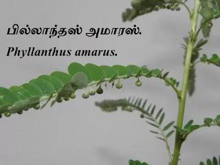 Phyllanthus amarus leaf.