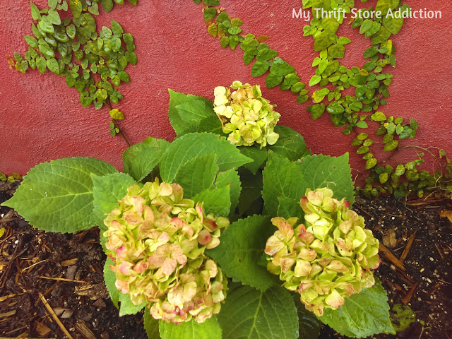 limelight hydrangeas at Secret Garden Herbs