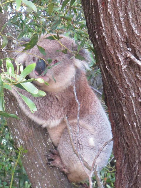 Koala on Great Southern Rail Trail