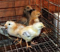 penyakit DOC ayam