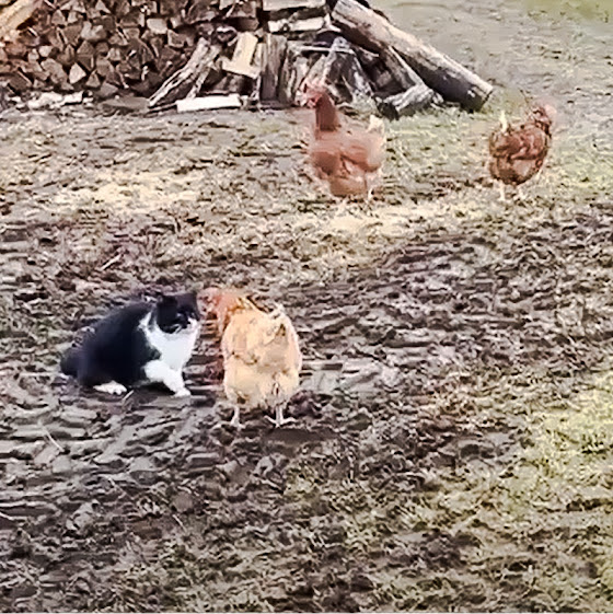 Chicken defends a fellow chicken against a farm cat attack