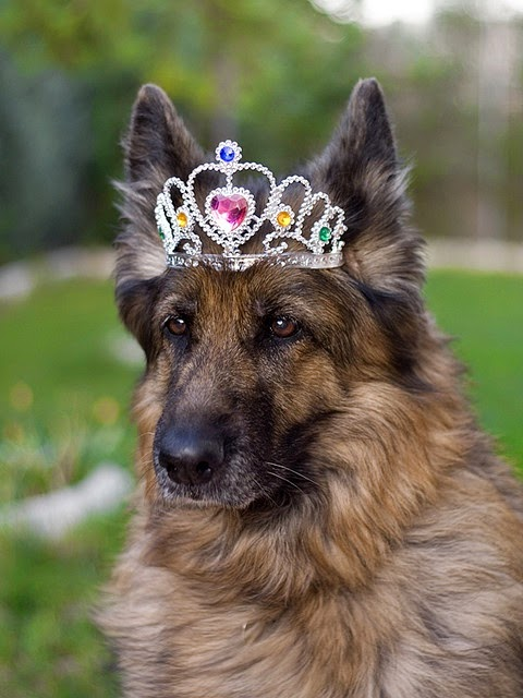 Her Gracious Majesty in her thirteenth birthday.' Princess *Kira* - a German Sheperd