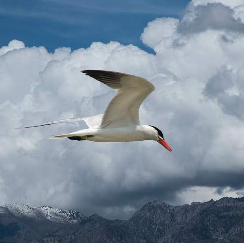 Birds of India - Photo of Caspian tern - Hydroprogne caspia