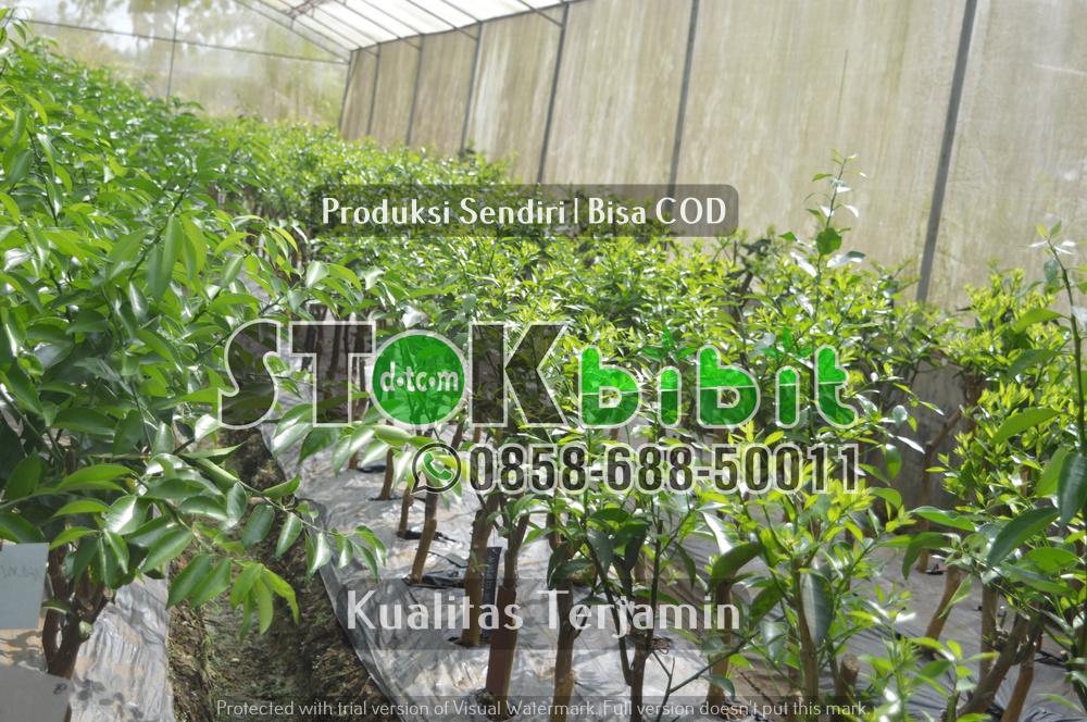 Mari Hijaukan kota Medan, Sumatera Utara dengan Penanaman Bibit Pohon Jati    terjamin     terjamin
