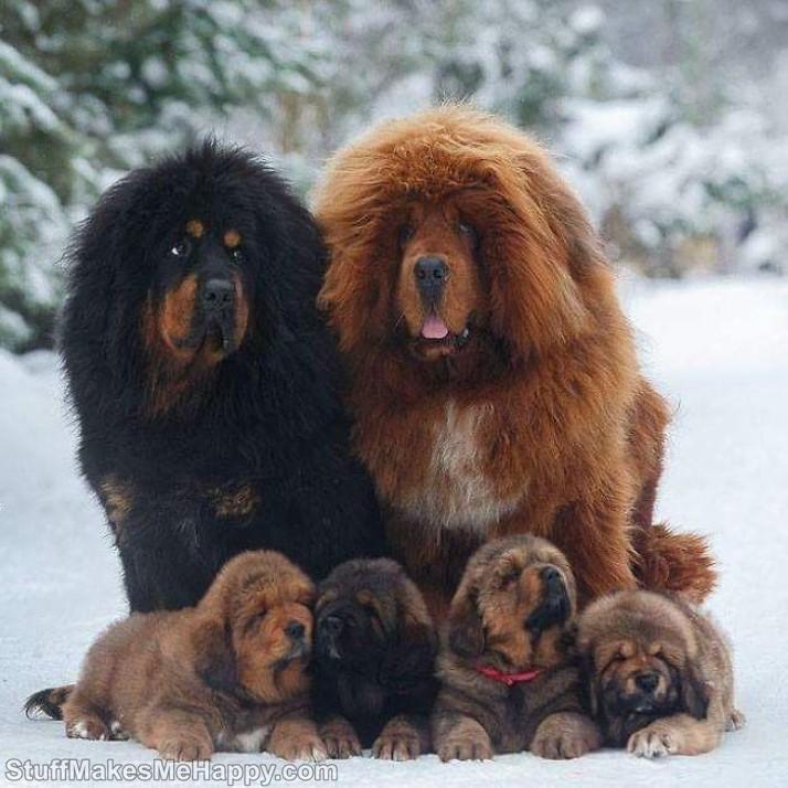 2. Tibetan Mastiffs Dogs Family