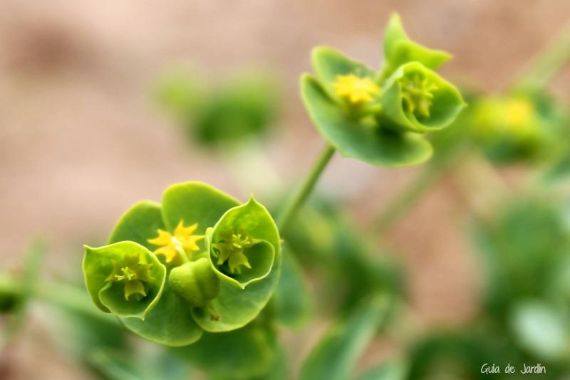 Flores de Euphorbia Segetalis