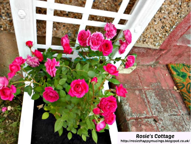 Miniature roses in bloom by the front door last summer.