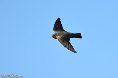 Roquerol en vol