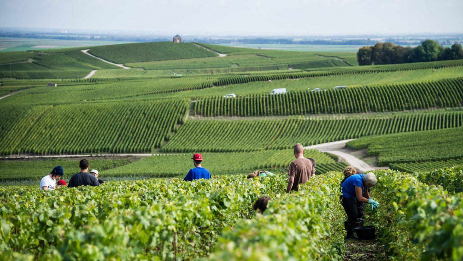you wine magazine: Vino e cambiamento climatico, Champagne: le tattiche dei produttori per preservare freschezza e acidità
