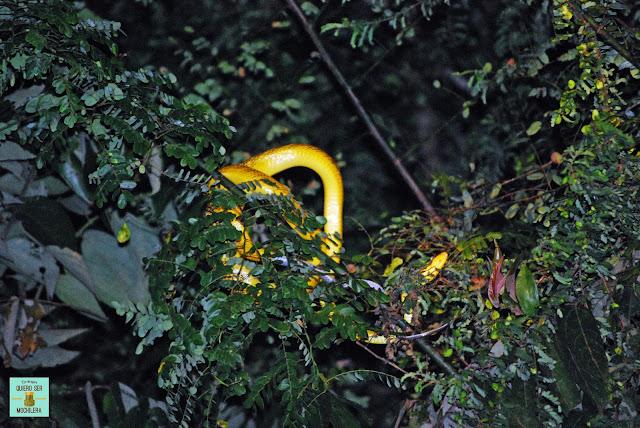 Serpiente en el río Kinabatangan, Borneo (Malasia)