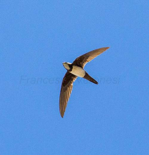 Indian birds - Image of Alpine swift - Tachymarptis melba