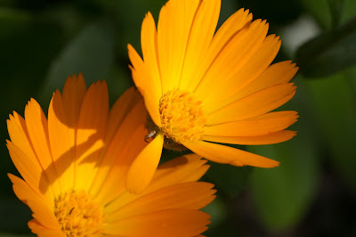Photo of Calendula at Pantalica.