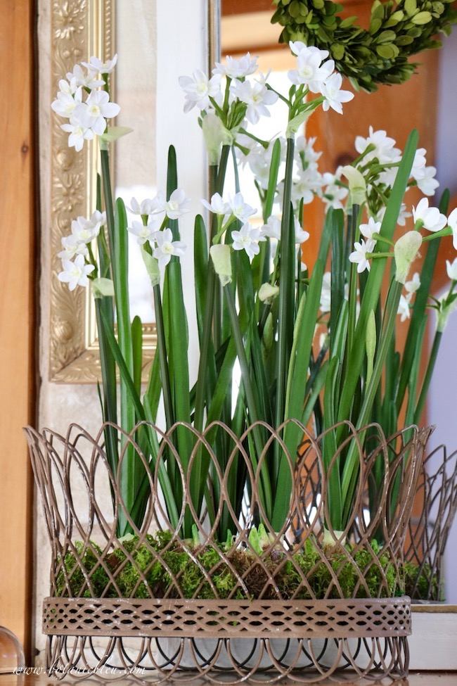 Breath of Spring French Country Wire Basket of real looking daffodils