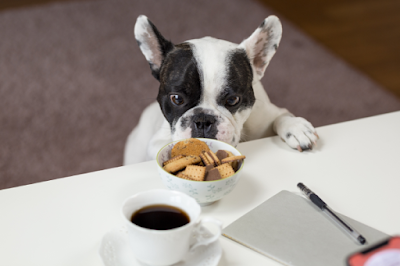 A small black and white English Bulldog is reaching up to a desk to investigate a bowl of sweet biscuits next to a coffee and notepad