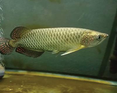 Jardini Arowana SI Ikan Naga Asli Papua