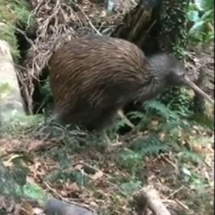[All] Details of kiwi Bird-Habitat-Call-Diet-Reproduction