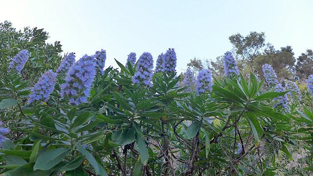 Große Busch mit blauen Blumendochten.