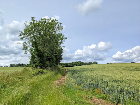 Great Gaddesden footpath 38 runs to the right of the hedgerow