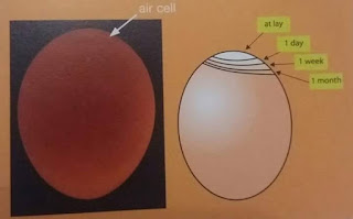 ciri telur konsumsi sehat