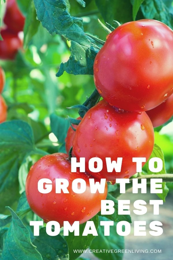 Secrets for how to grow the best tomatoes! Get easy how to ideas and tips for growing tomatoes for beginners and intermediate gardeners. Whether you are growing tomatoes in pots, in a raised bed or a five gallon bucket, this article will answer all your questions about growing tomatoes vertically without needing to grow them in a greenhouse. #creativegreenliving #creativegreengarden #tomatoes #gardening