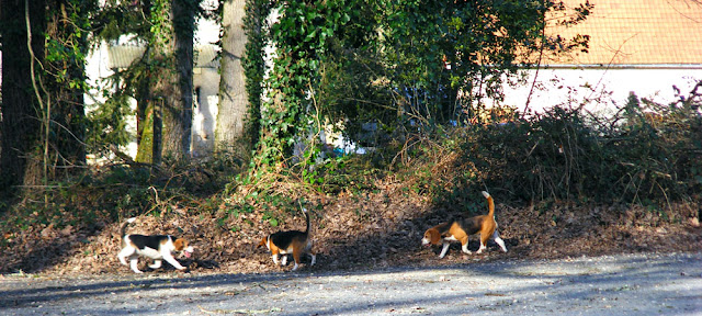 Beagles being exercised in the forest.  Indre et Loire, France. Photographed by Susan Walter. Tour the Loire Valley with a classic car and a private guide.
