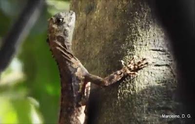 Tamaquaré, tamaquaré amazônico, animal, para que serve o tamaquaré, ver o peso, lagarto, Pará, Amazônia, que bicho é, iguanidae, répteis, natureza
