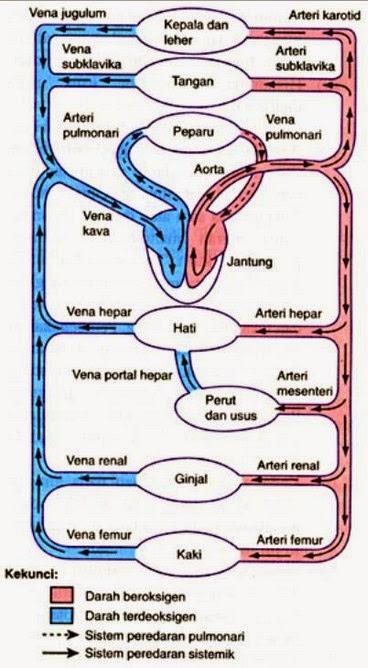 Diagram alur peredaran darah manusia